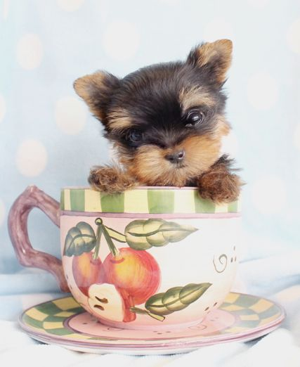 T Cup Yorkies For Sale At Teacups Puppies South Florida Teacup Puppies Teacup Yorkie Puppy Yorkie Puppy