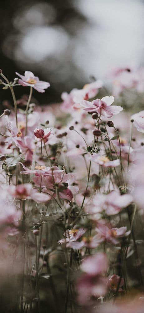 خلفيات ورد للايفون Pink Flowers Wallpaper Iphone Wallpaper Preppy Nature Wallpaper