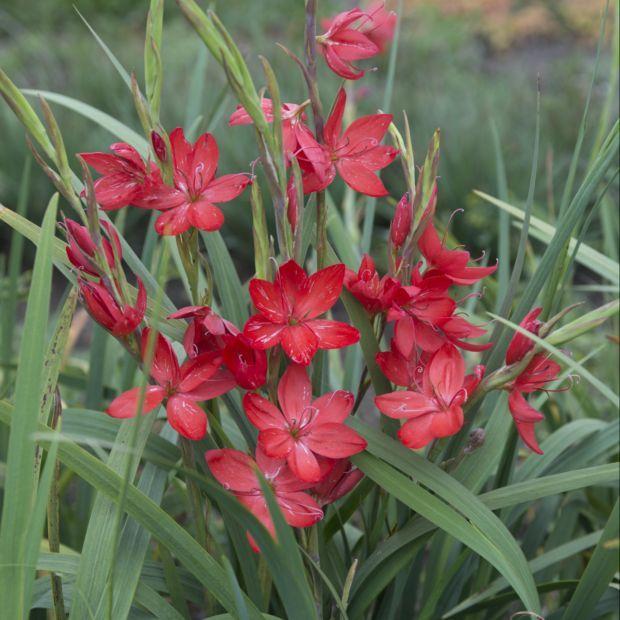 vivace longue floraison automnale rouge facile de culture jardin pinterest vivace. Black Bedroom Furniture Sets. Home Design Ideas