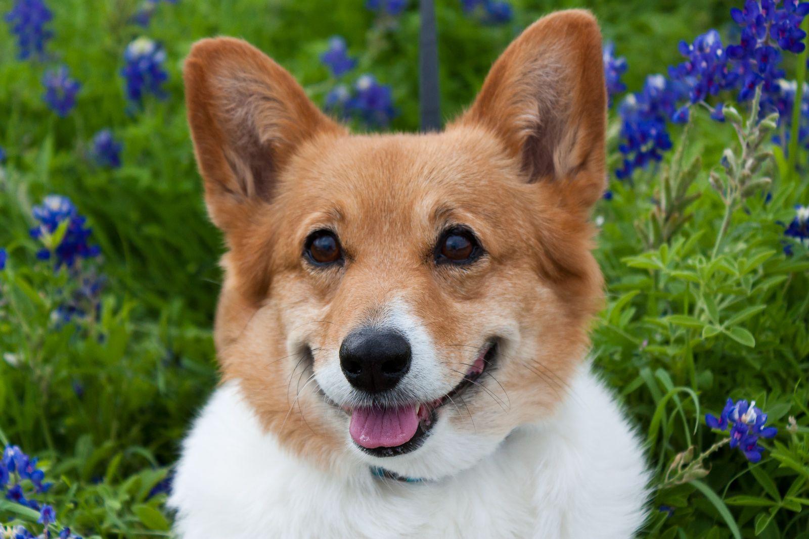 Penny Among The Texas Bluebonnets Corgi Corgi Funny Pembroke Welsh Corgi Puppies