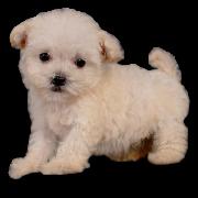 Maltipoo Maltipoo Dog Maltipoo Puppy Maltipoo