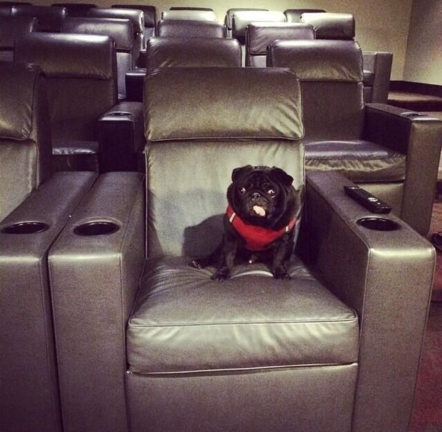 @Hamilton Pug A1: I think I'd make a good film critic. I have excellent taste...in movies&in popcorn! #PugChat pic.twitter.com/FQ8DYY2kpT