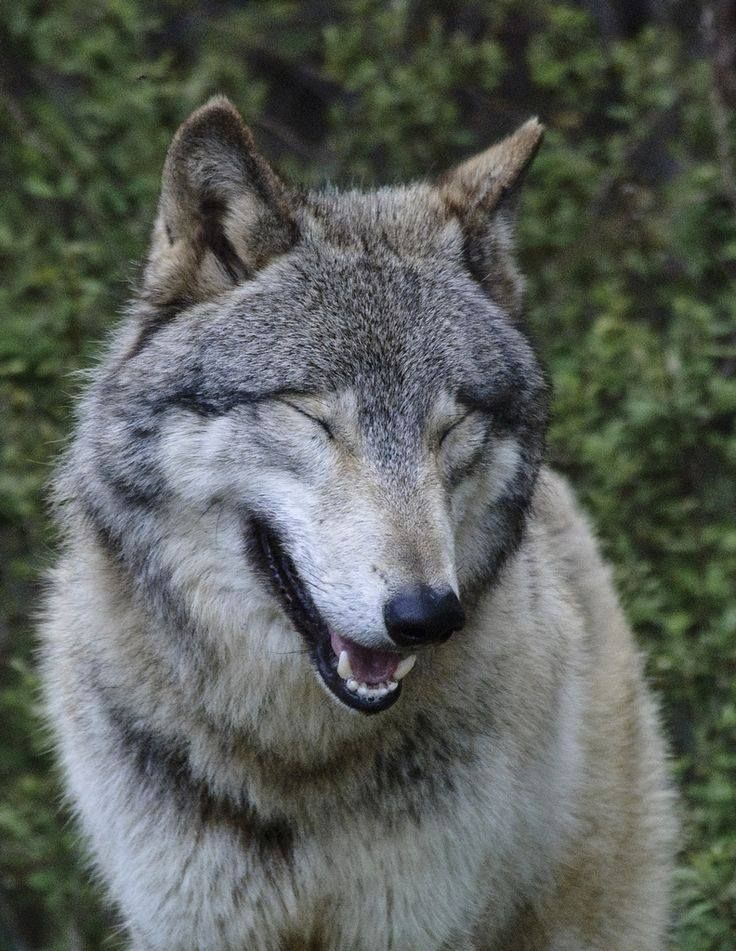 Wolf Laugh Makes Me Smile Funny Wolf Laughing Animals Wolf Pictures