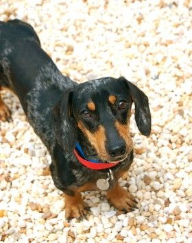 Decatur Ga Dachshund Meet Liebling A Dog For Adoption Http