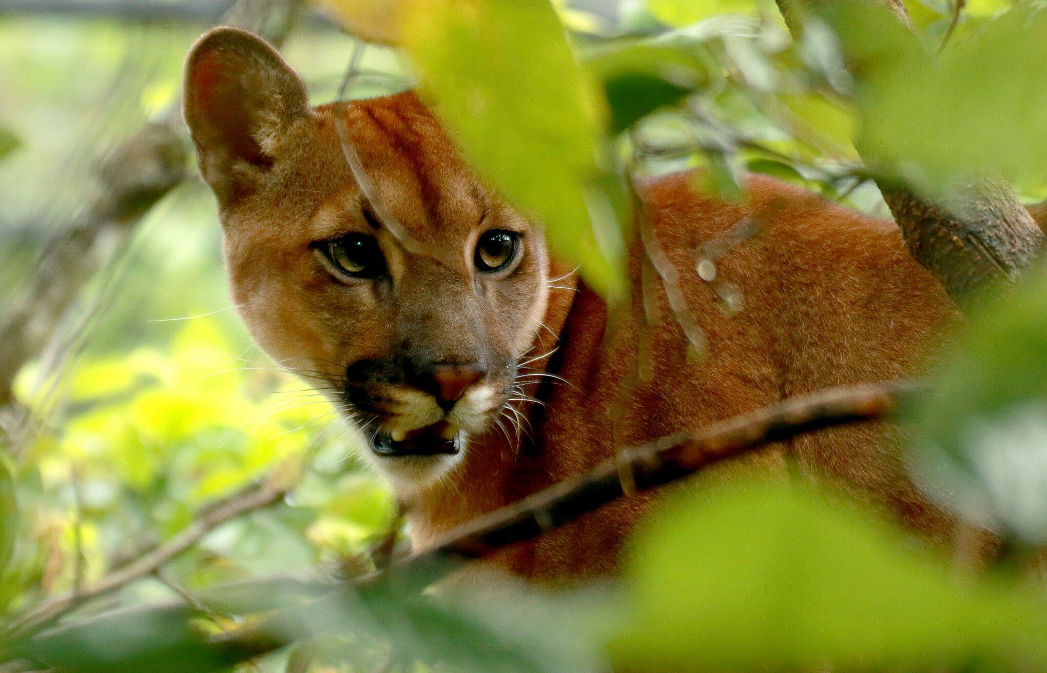 Onça parda - Jaguar at a tree.