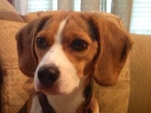 Adopt Sammie On Beagle Dog Adoptable Beagle Pet Adoption