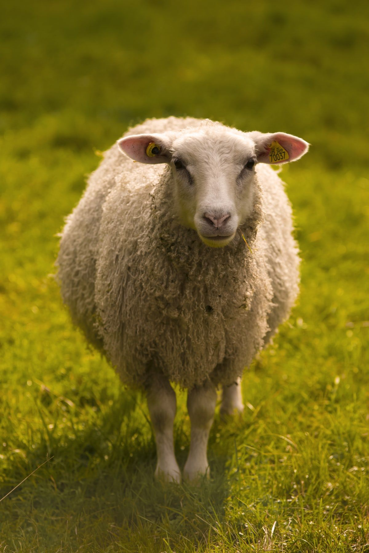 500+ Sheep Images Download Free Pictures on Unsplash