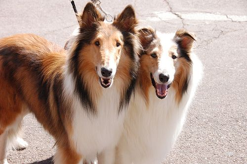 Pin On Collies