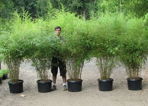 Fargesia Are Very Cold Tolerant Shade Loving Bamboos From