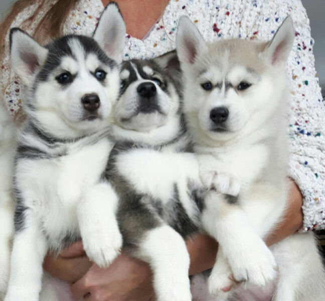 Husky Mix Breed Dogs In 2020 Cute Baby Animals Cute Animals Mixed Breed Dogs