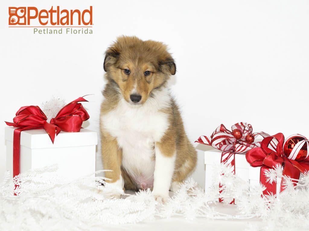 Petland Florida has Shetland Sheepdog puppies for sale