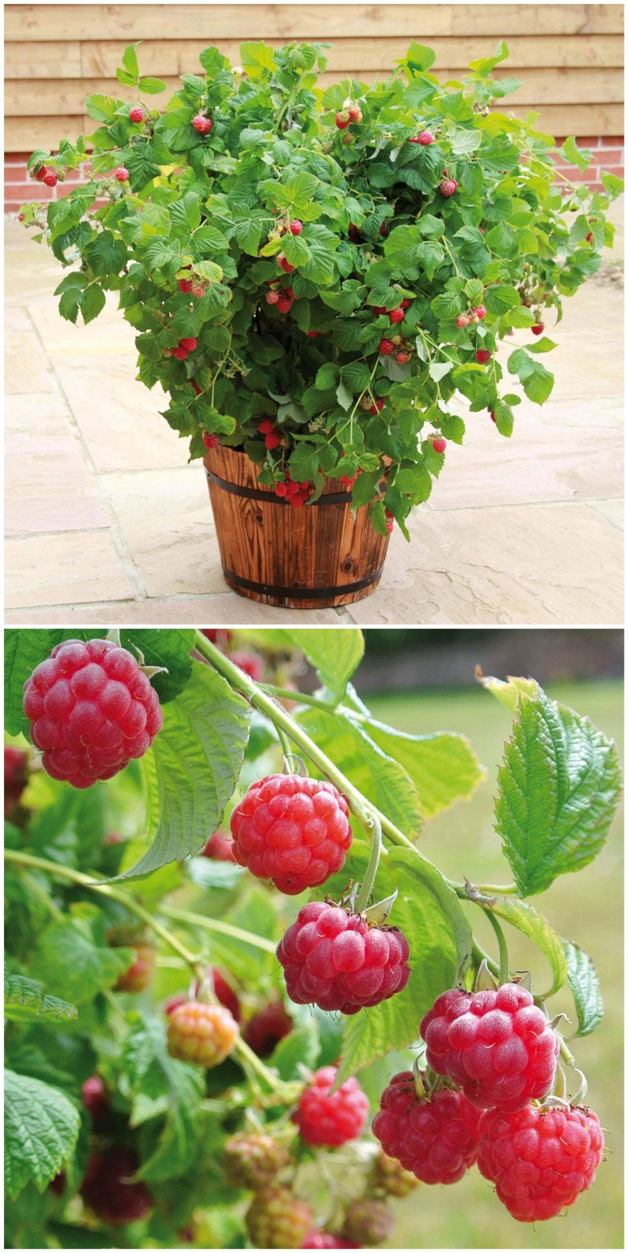 The Compact Pot Raspberry 39 Ruby Beauty 39 Not Only Forms Delicious Fruits S In 2020 Pflanzen Erdbeerpflanzen Himbeeren