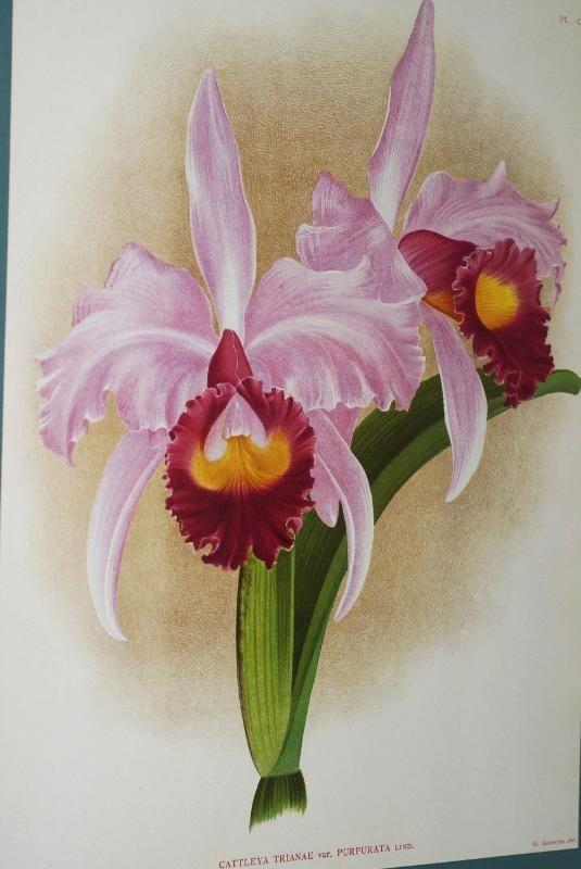 Orchid Cattleya Labiata Flower Drawing Botanical Orchids