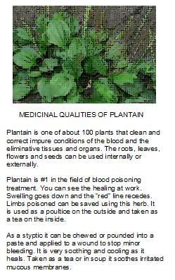 """Plantain - A wonderful """"weed"""" for your personal use - Seeds, leaves, roots"""