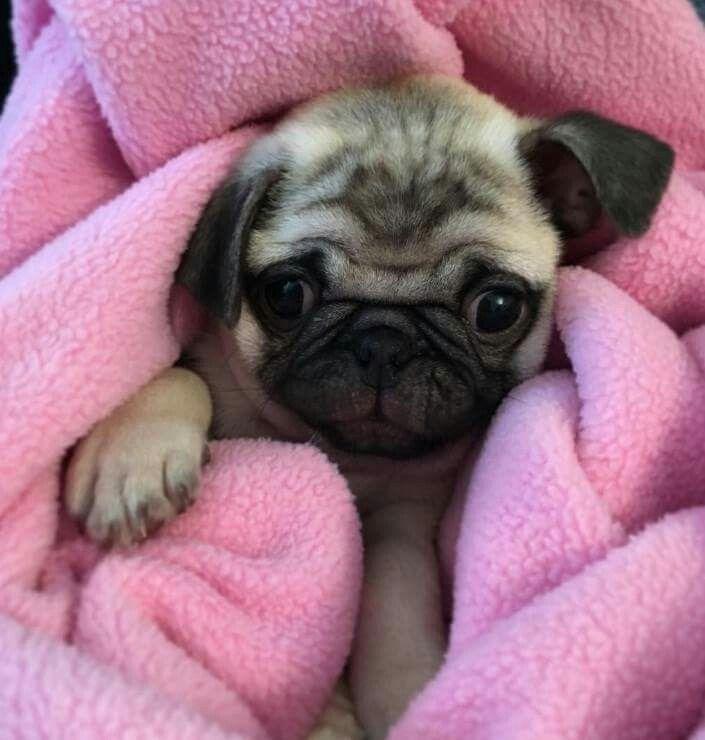 Pug In A Blanket Baby Pugs Cute Pugs Pugs Funny