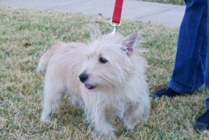 Rusty Is An Adoptable Cairn Terrier Dog In Plano Tx Rusty Is A