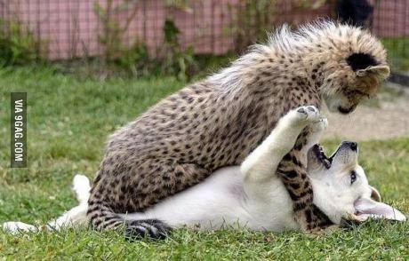 Puppy And Cheetah Playing Bebes Animaux Mignons Animaux Les Plus Mignons Bebes Animaux
