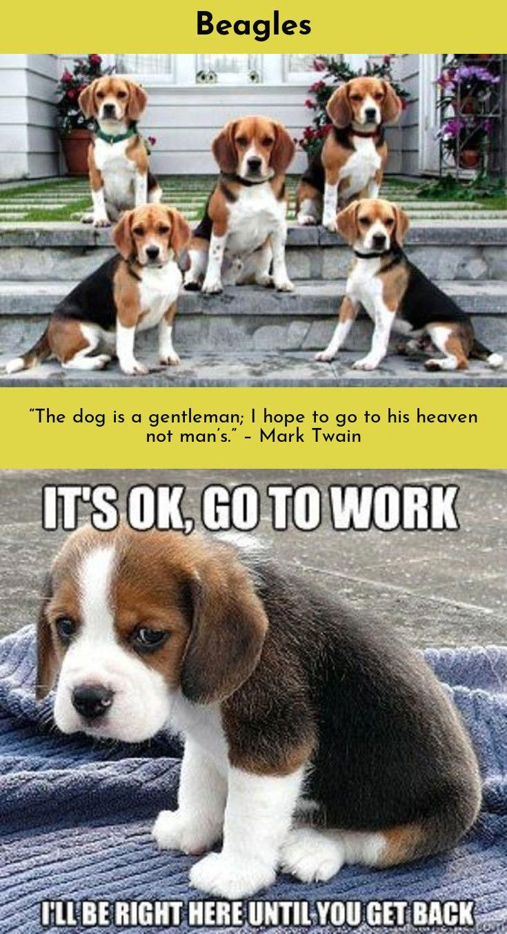 Beagle Friendly And Curious Dog Breeds Cute Beagles Dogs