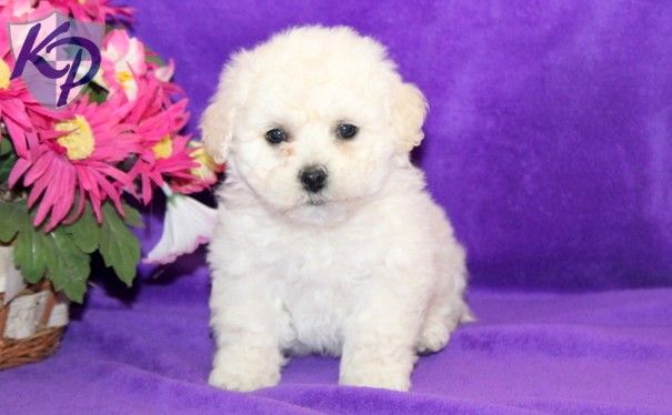 Cathy Bichon Frise Puppies For Sale In Pa Keystone Puppies Bichon Frise Puppy Puppies Bichon Frise