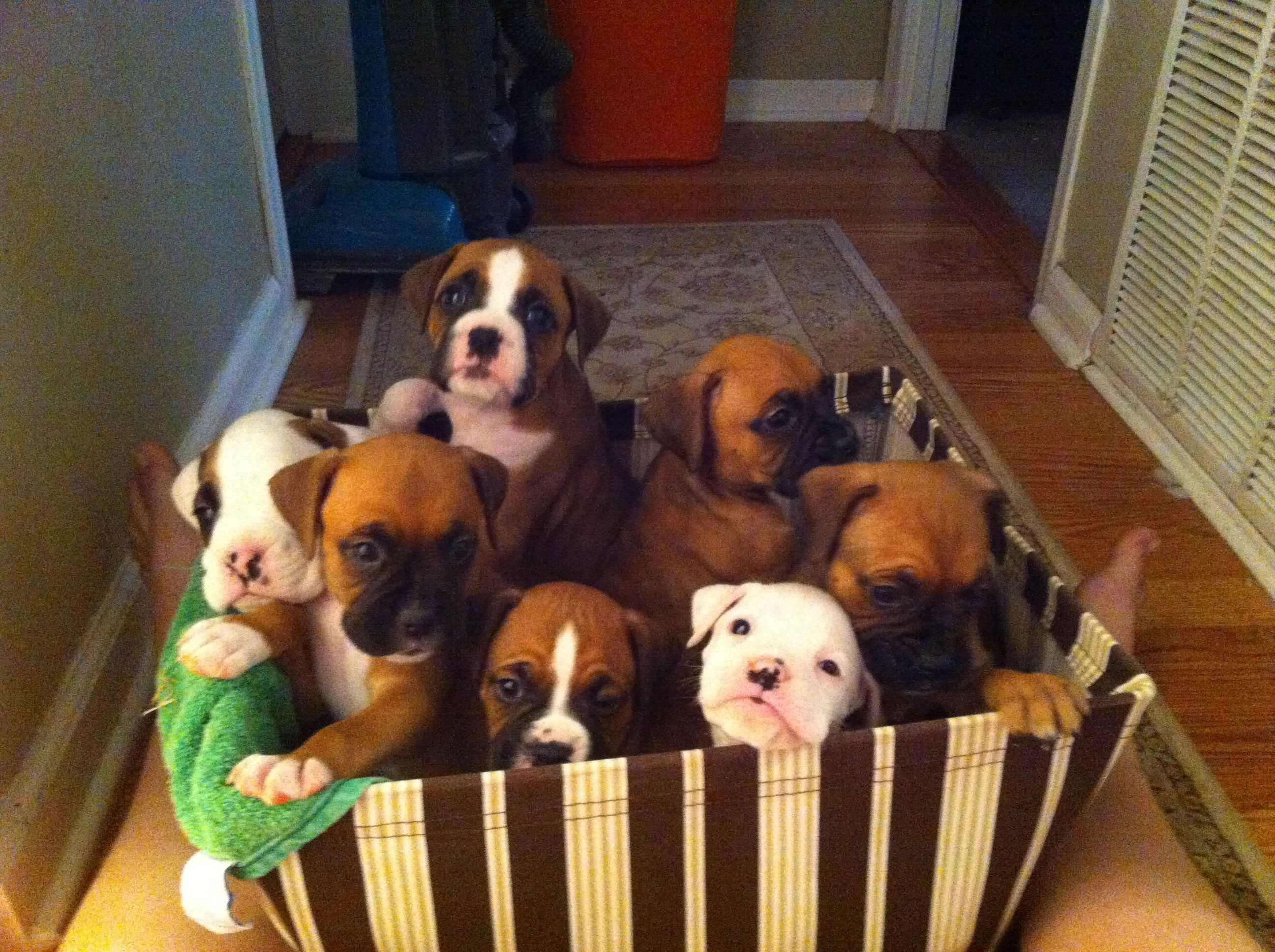 Box Of Boxers Puppies Boxer Puppies Boxer Dogs Boxer Puppy