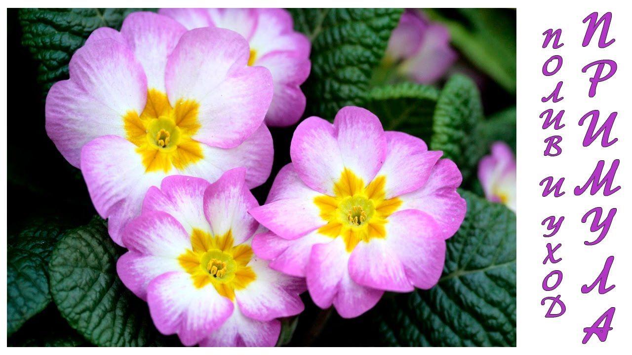 Примула (Primula) уход и полив   Комнатные цветы, Цветы, Уход