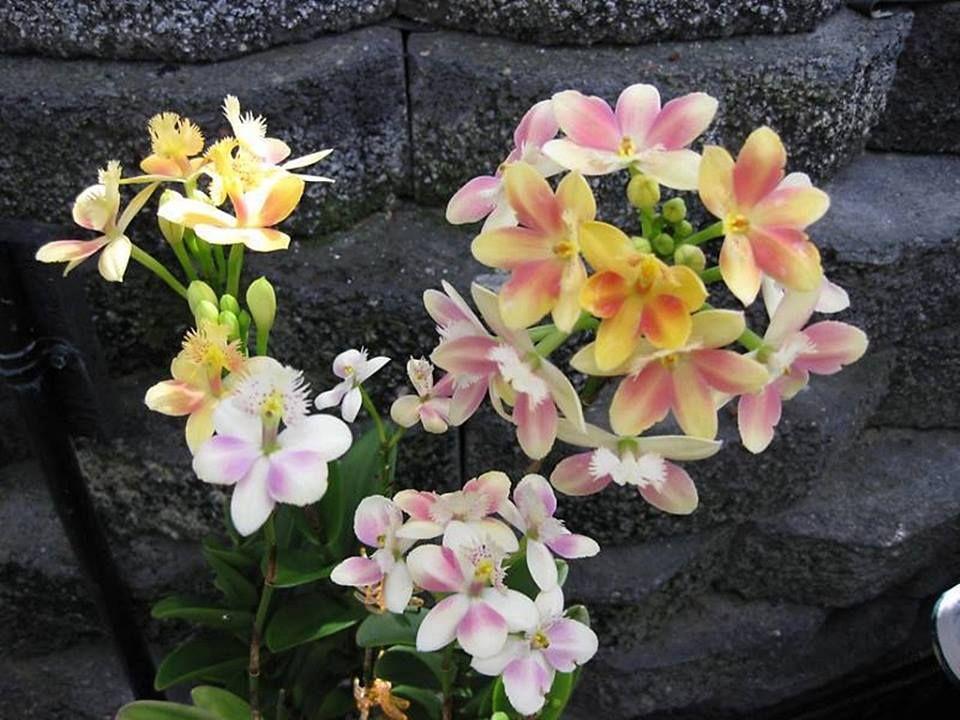Epidendrum. Crucifix Orchids, Reedstem Orchid. Reed Stem Orchid or Reed Orchid. #orchid #epidendrum