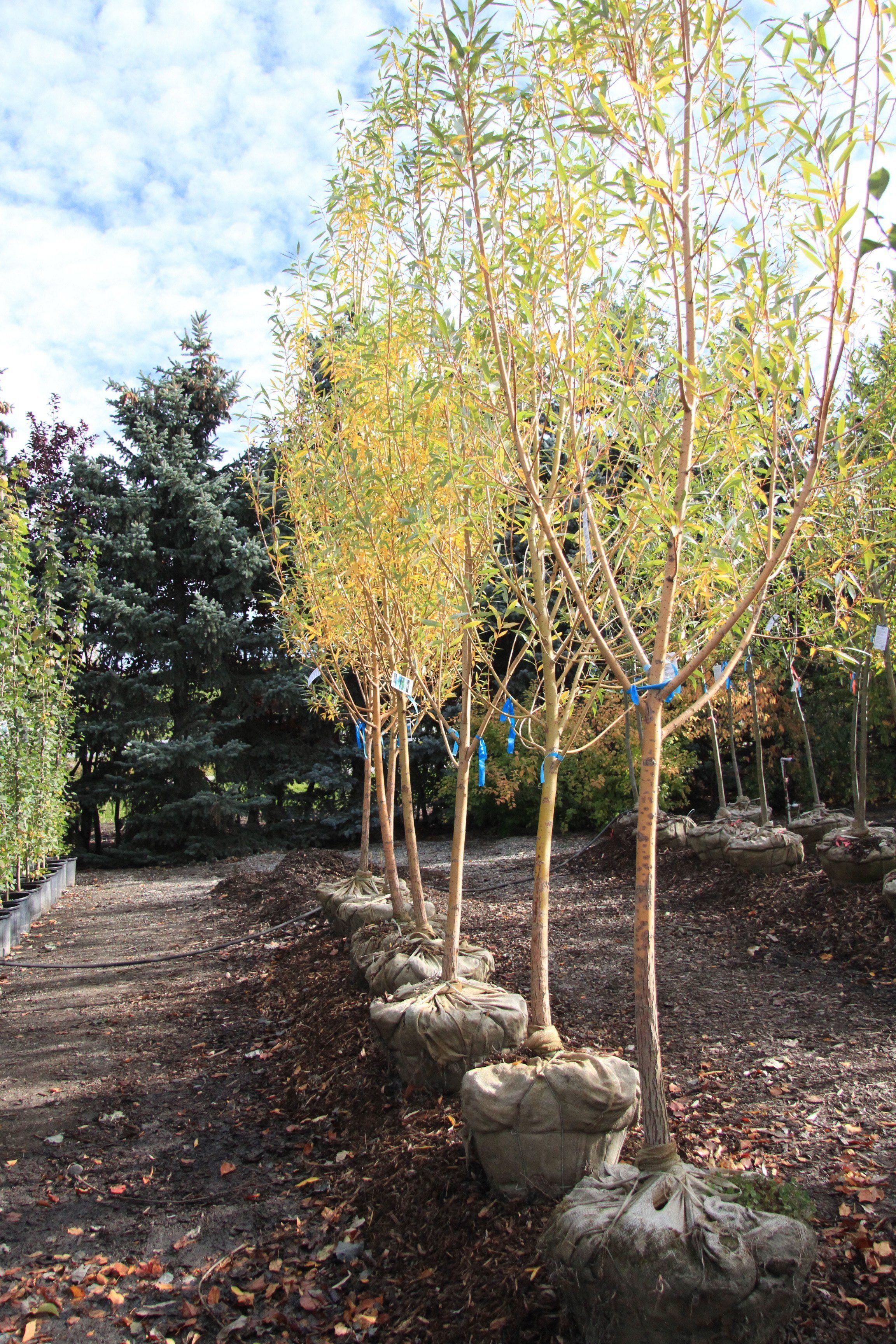 Golden Willow Trees Calgary, Alberta Countryside Garden