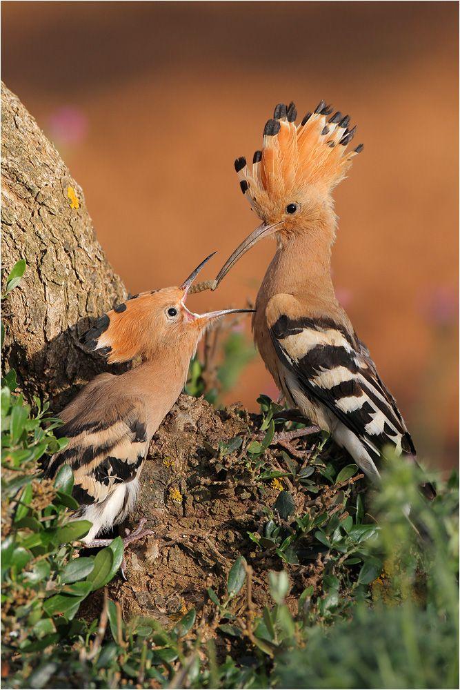Hoopoe bird and chick Pretty Birds, Beautiful Birds, Animals Beautiful, Cute Animals, Beautiful Pictures, Kinds Of Birds, All Birds, Love Birds, Exotic Birds