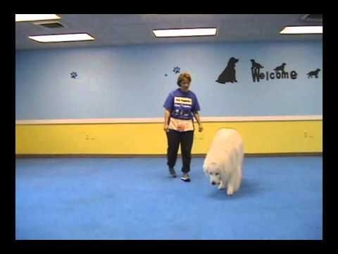 Teaching A Great Pyrenees To Heel By Your Side Canine