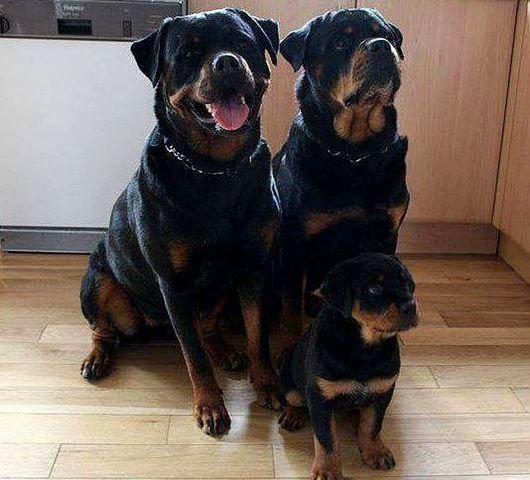 Family Pictures Rottweiler Dogs Cute Dogs