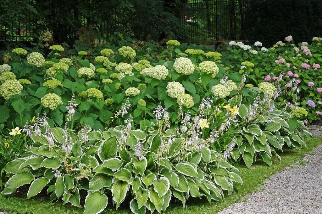 Funkie mit hortensien bilder und fotos garten for Gartengestaltung mit buchs und hortensien