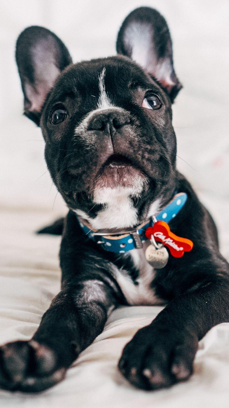 Pin by Halvy on Cuties Puppies, Bulldog puppies, Bulldog