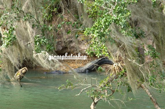 Title Nice Gator Photo Blue Springs State Park by ginasphotoshop, $12.50