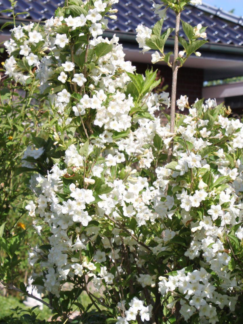 Weigelie Snowflake Weigela Snowflake Pflanzen Baume Straucher