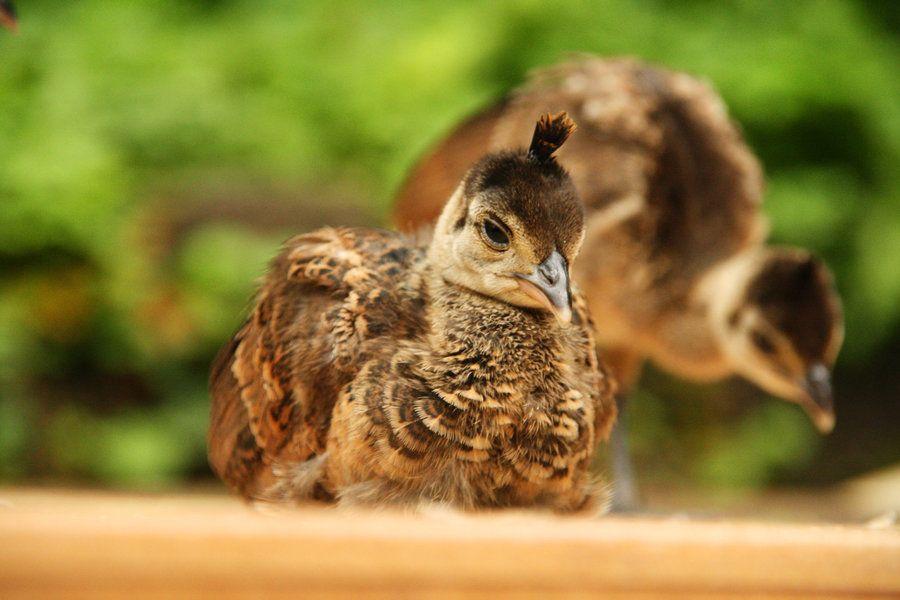 Resultado de imagem para baby peacock