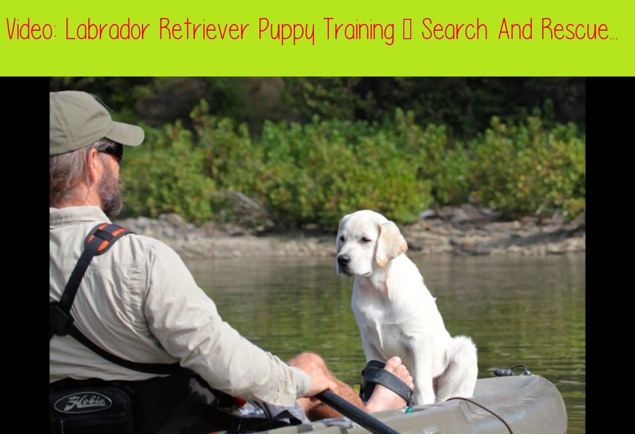 Labrador Retriever Puppy Training Search And Rescue Foundation