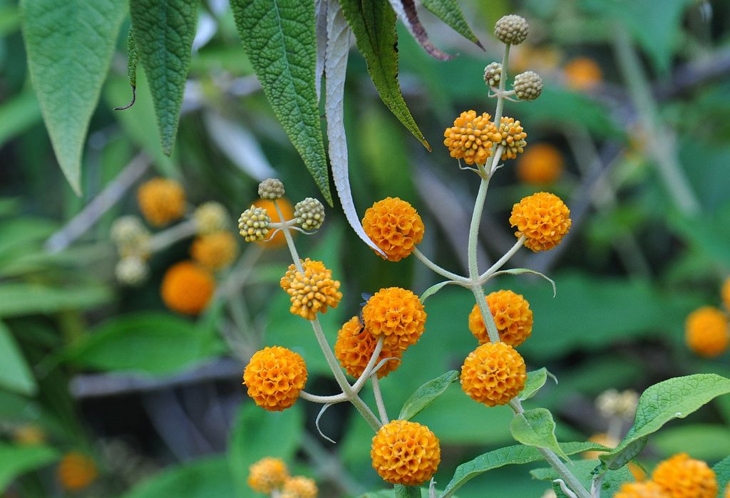 Buddleja globosa, known commonly as orange ball tree, is a