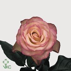 Dusky pink carosel rose