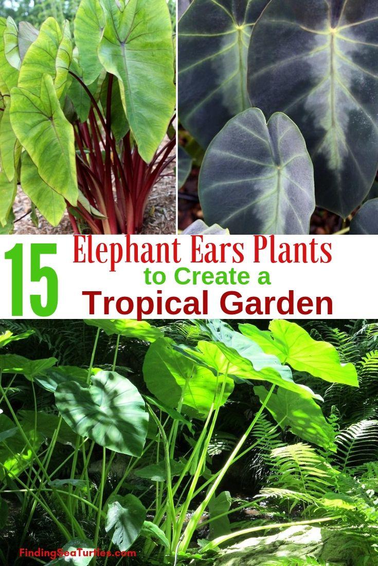 Grow Elephant Ears for a Tropical Garden Look #elephantearsandtropicals