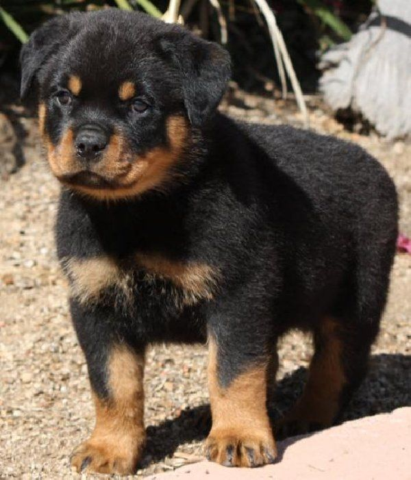 Rottweiler Dog Photo Trained Rottweiler Puppies For Sale Male