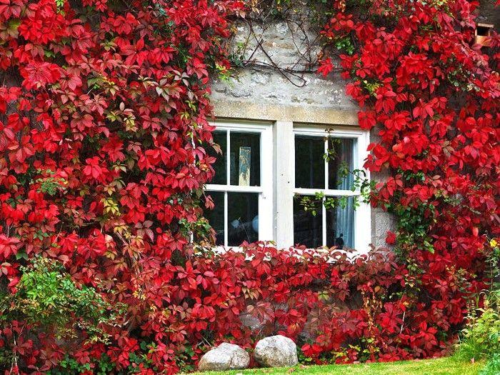 hiedra roja jardineria y frutas pinterest flowers