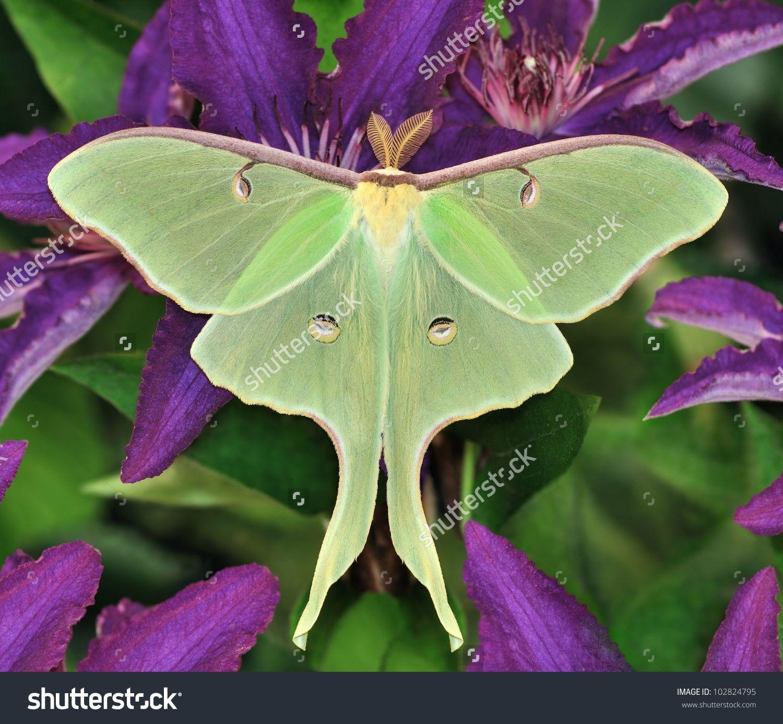 A Beautiful Luna Moth (Actias Luna) On Purple Clematis Flowers ...