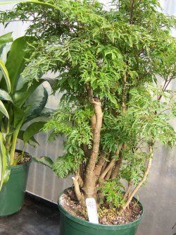 ming aralia aralia plant large house plants tall house plants - Tall Flowering House Plants