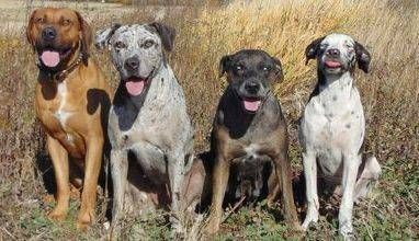 Catahoula Breeder Edmonton Alberta Canada With Images