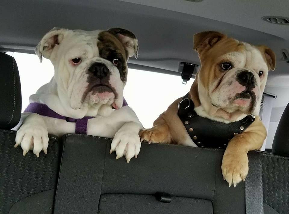 Bulldog Bulldog Puppies Bulldog Breeds French Bulldog Puppies