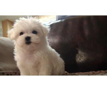 Dogs For Sale In Woodbridge New Jersey Maltese Puppy Puppies Dogs And Puppies