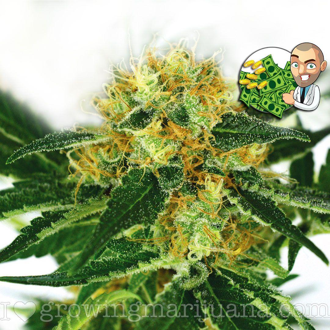 Cannabis: The Most Important Vegetable on the Planet | Pot an Oil | Cannabis,  Medical cannabis, Hemp