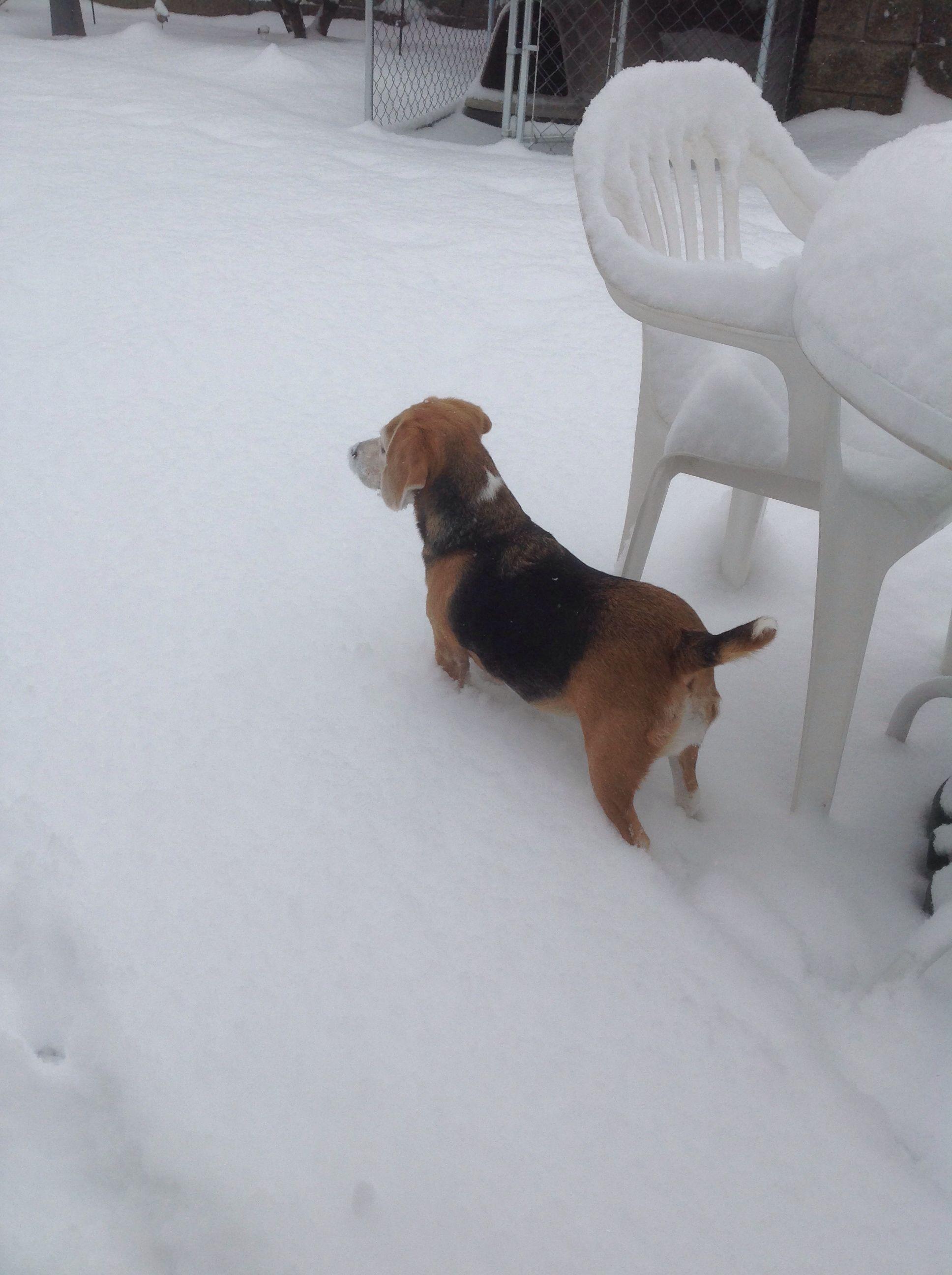 What A Cute Beagle In The Snow Cute Beagles Labrador Retriever
