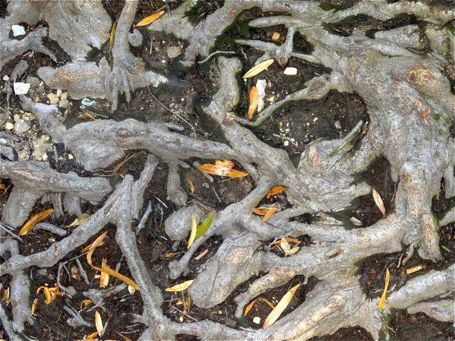 tree roots taken in the street in Washington D.C.