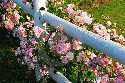 Pink roses at the white painted country house fence